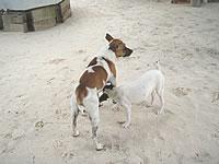 ジープ島の2匹の犬